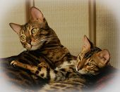 Two Cute Lovely Bengal Domestic Domestic Cat And Kitten In The Bed poster