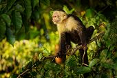 Colombian White-faced Capuchin (cebus Capucinus), Colombian White-headed Capuchin Or Colombian White poster