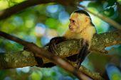 Colombian White-faced Capuchin (cebus Capucinus), Colombian White-headed Capuchin Or Colombian White poster