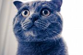 A Large Cat, Cat With Yellow Eyes, Close-up Of Cat, Round Eyes Of The Cat poster