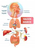 Vagus Nerve Vector Illustration. Labeled Anatomical Structure Scheme And Location Diagram Of Human B poster