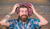 Man Hold Grapes Wooden Background. Fresh Organic Harvest. Farmer Bearded Guy With Homegrown Harvest  poster