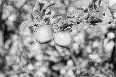 Organic Apple Crops Farm Or Garden. Autumn Apples Harvesting Season. Rich Harvest Concept. Apples Ye poster