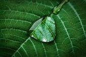Macro Dew Drop On A Green Leaf Background. Beautiful Nature In Simplicity. poster