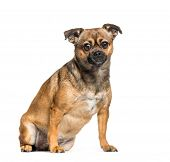 Cross breed between Pekingese and Pinscher sitting in front of white background poster