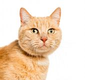 Mixed-breed cat in front of white background poster