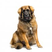 Mixed-breed dog sitting in front of white background poster