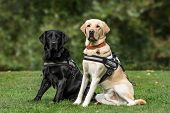 Guide dogs, Labrador Retrievers, 7 and 2 years old, in park poster