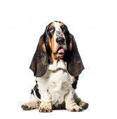 Basset Hound sitting in front of white background poster