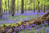 stock photo of harebell  - Beautiful carpet of bluebell flowers in Spring forest landscape - JPG