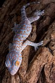 image of tokay gecko  - A baby tokay gecko is climbing down a tree - JPG