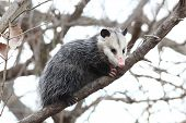 stock photo of opossum  - A common opossum perched in a tree - JPG