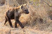 pic of hyenas  - Small hyena pup playing walking outside its den in early morning sun - JPG