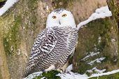 pic of snowy owl  - Snowy Owl in ZOO Liberec in Czech Republic - JPG