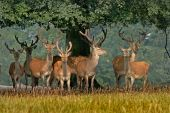 Red Deer In Yorkshire