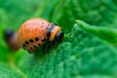 image of potato bug  - Colorado beetle larvae Leptinotarsa decemlineata on potato leaf macro