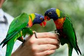stock photo of parrots  - Rainbow Lorikeet Parrot  - JPG