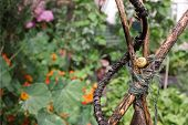picture of garden snail  - A yellow garden snail nesting on a hand made wooden plant frame bound with garden string in an urban city garden - JPG