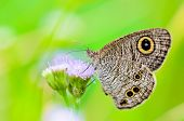 stock photo of nymphs  - Common Wood Nymph Close - JPG