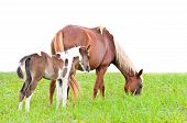 stock photo of mare foal  - Brown mare and foal isolated on white in a field of grass - JPG