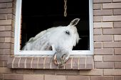 picture of stable horse  - White horse looking from the window of a stable - JPG