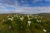 picture of arum lily  - Field with arum lilies in Darling Soth Africa - JPG
