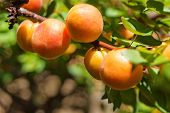 image of apricot  - An apricot tree branch with ripe apricots - JPG