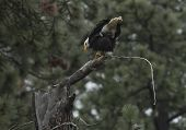 image of defecate  - A bald eagle relieves itself and gets ready for another hunt - JPG