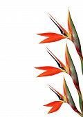 stock photo of bird paradise  - three bird of paradise flower on side of page on a white background - JPG