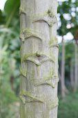 stock photo of papaya  - So many gnarls on the papaya tree - JPG