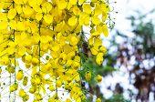 stock photo of cassia  - Beautiful yellow flower Golden shower  - JPG