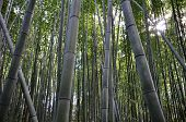 foto of bamboo forest  - Bamboo grove bamboo forest at Arashiyama Kyoto Japan - JPG