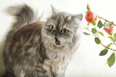 picture of mew  - Persian fluffy cat frightened to mew and red flowers - JPG