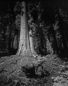 stock photo of sequoia-trees  - This photograph was taken deep inside the Sequoia National Park - JPG