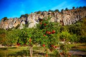 stock photo of pomegranate  - ripe pomegranates hanging on the tree  against the rocky wall - JPG