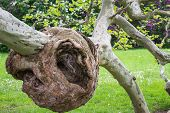picture of oddities  - Burl on a tree Freak of nature - JPG