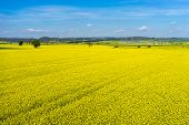 image of rape-seed  - aerial view rural landscape with blooming rape at the north Greece  - JPG