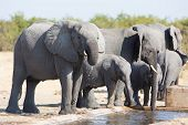 foto of calves  - Elephant calf drinking water on a dry and hot day - JPG