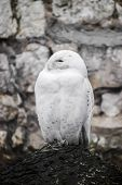 picture of snowy owl  - Beautiful view of white owl sitting close  - JPG