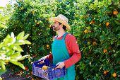 pic of orange-tree  - Farmer man harvesting oranges in an orange tree field - JPG