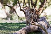 pic of cheetah  - young cheetah in the afternoon on green grass in a zoo in California - JPG