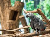 image of parrots  - African Grey Parrot Psittacus erithacus on the branch - JPG