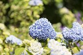 stock photo of hydrangea  - Hydrangea Hydrangea is a genus in the family of Hydrangeaceae Hydrangeaceae - JPG