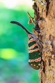 stock photo of insect  - lanternflies insect - JPG