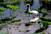 stock photo of water lily  - A Beautiful Great White Egret Among Lotus Water Lilies - JPG