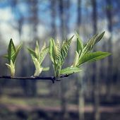 stock photo of bud  - The first spring gentle leaves  - JPG