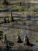 stock photo of swamps  - Bald Cypress trees in the swamps of First Landing State Park located in Virginia Beach Va - JPG