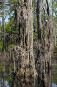 foto of virginia  - Bald Cypress trees in the swamps of First Landing State Park located in Virginia Beach Va - JPG