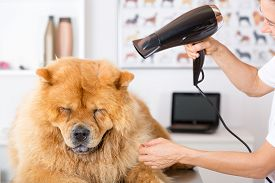 pic of chow-chow  - Canine hairdresser in a beauty clinic with Chow Chow - JPG