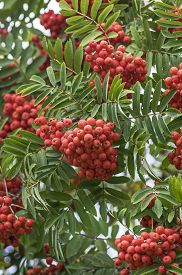 picture of mountain-ash  - Ripe red mountain ash berries and green leafs